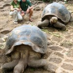 Giant Tortoise of the Galapagos