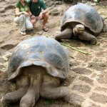 Giant Tortoises of the Galapogas Isles