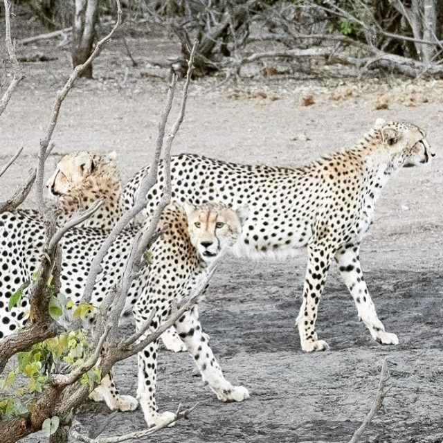 Enter stage left the cheetahs MTBsafari cheetah Mashatu MashatuGameReserve wildmagazinehellip