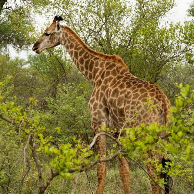 Headturner giraffe krugerthroughmyeyes kruger greaterkruger gadventures natgeojourneys safari
