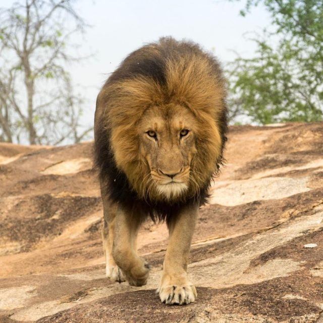 Im hungry Lion krugerthroughmyeyes kruger greaterkruger gadventures natgeojourneys safari