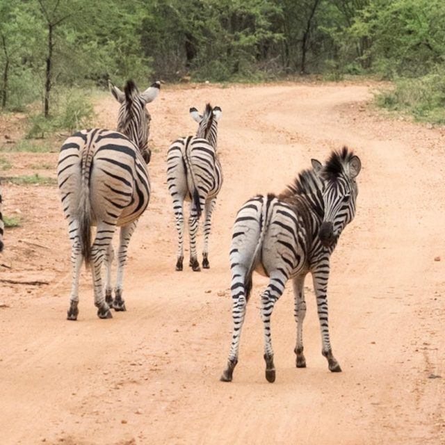 Does my bum look big in stripes? zebra krugerthroughmyeyes krugerhellip