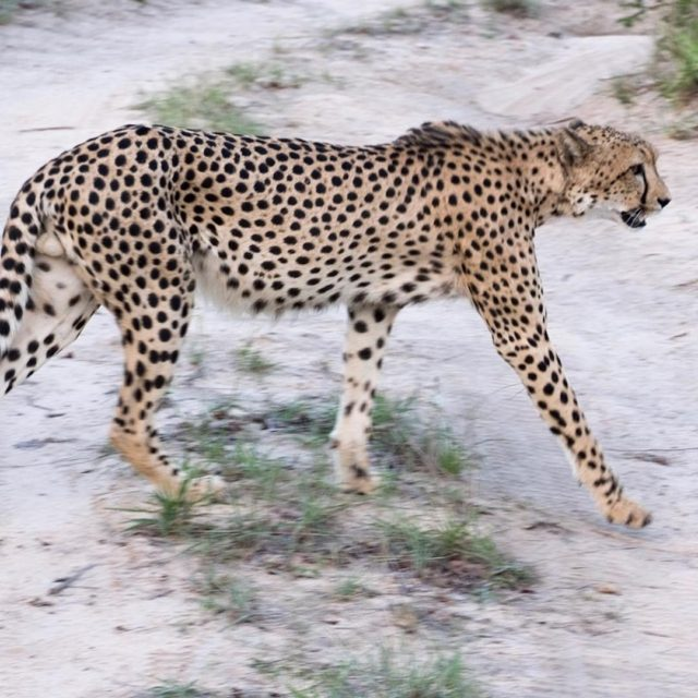 Cheetah off for a prowl Cheetah krugerthroughmyeyes kruger greaterkruger gadventureshellip
