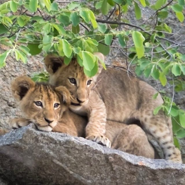 I got your back lioncubs siblings toocute kruger greaterkruger krugerthroughmyeyeshellip