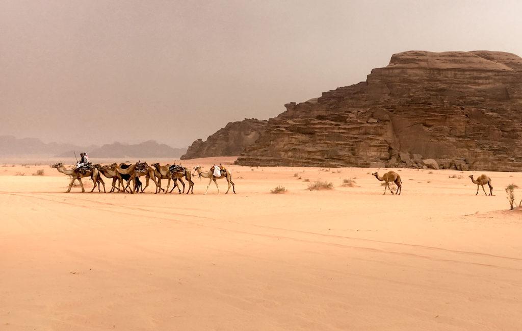Camels Wadi Rum Jordan