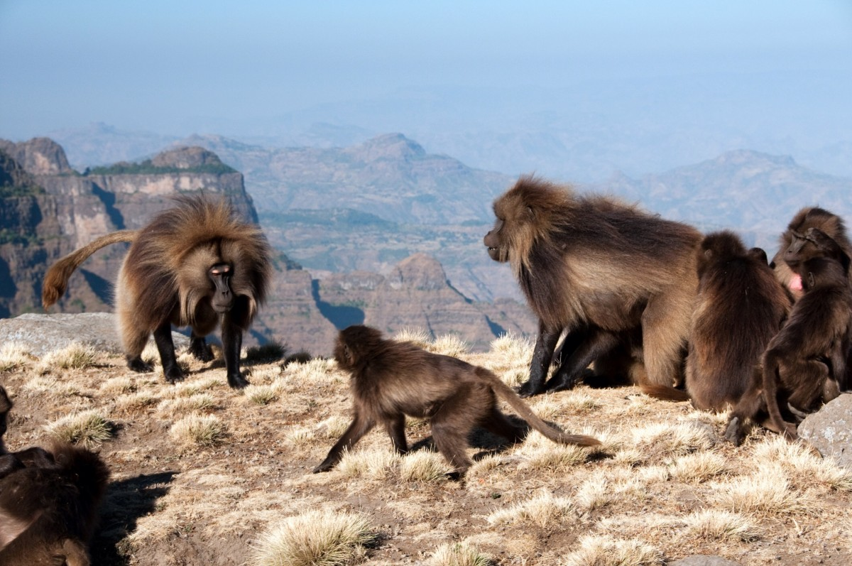 Gelada Baboons in the Simien Mountains